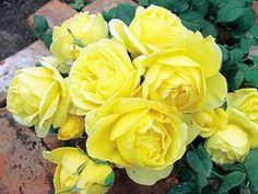 バラ苗 フレンチローズ(デルバール)<br> スヴニール ドゥ マルセル プルースト 大苗6号鉢 四季咲き大輪 黄色系
