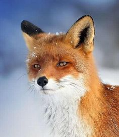 This fantastic fox. This fantastic fox. This fantastic fox. Nature Animals, Animals And Pets, Baby Animals, Funny Animals, Cute Animals, Pretty Animals, Strange Animals, Beautiful Creatures, Animals Beautiful