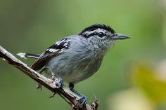 Chorozinho-de-boné (Herpsilochmus pileatus): espécie ameaçada de extinção. Endangered specie. Foto: Sérgio Cedraz | Wiki Aves - A Enciclopédia das Aves do Brasil