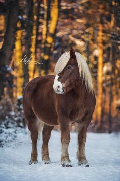 Black Forest Dairy is standing in the snow Horse Horse Photos, Horse Pictures, Most Beautiful Animals, Beautiful Horses, Pretty Horses, Horse Love, Equine Photography, Animal Photography, Haflinger Horse