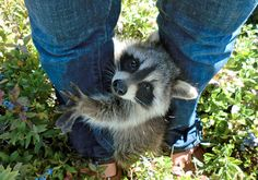 This best friend who never leaves his human's side. | 21 Raccoons Who Will Show You What It Means To Be Cute
