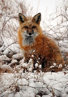 This fox came to visit us in our backyard during a spring snowstorm. He's sitting on top of a fence, putting him at just the right height for me to take his portrait.  photo by Steve and Janet Lawson