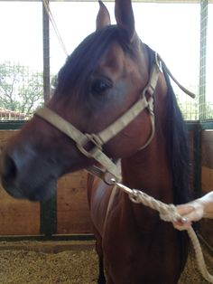 This is Squirrel. He is a bay Polish Arabian stallion that has an beautiful mane & tail that would love to be braided. He is 10 years old but sadly has not been ridden. He would be a great project horse for an experienced rider & needs a good home ASAP!!!