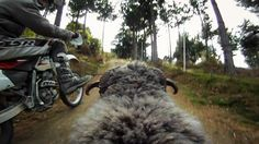 GoPro Video of an Angry Ram Attacking a Motorcyclist Over and Over Again