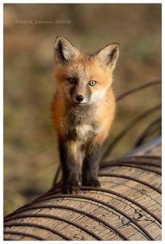 Fox!! According to Nat Geo, they may be the most optimal pets yet. I believe it.