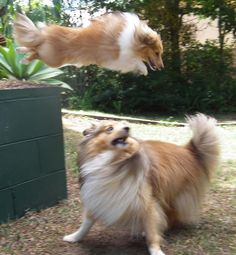 photos of shelties to pintrest | Shelties at play.....omg awesomeness!!!!! | Shelties 2