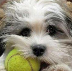 Shih Tzu Westie West Highland White Terrier Mix Westie