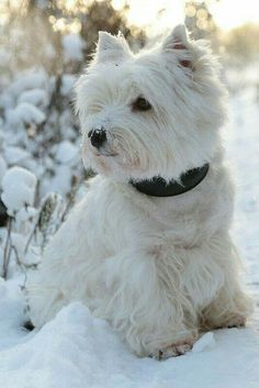 westie west highland white terrier puppy dog- I want him to be called Oscar Pitbull Terrier, Terrier Dogs, Terrier Mix, Beautiful Dogs, Animals Beautiful, Cute Animals, Beautiful Creatures, Baby Animals, Westies