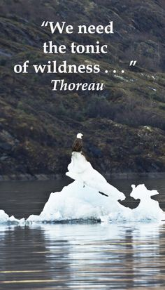 """We need the tonic of wildness . . .""  Thoreau – On image of bald eagle perched on ice floe of MENDENHALL GLACIER LAKE near Juneau, ALASKA – Explore journey quotes, both ancient and modern, at http://www.examiner.com/article/travel-a-road-of-literate-quotes-about-the-journey"