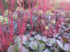 Cornus, bergenia and helleborus for winter. Add grass for extra height?