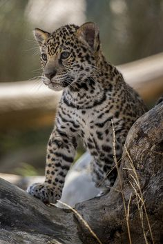 #Jaguar Cub ... beauty ...  <3 www.24kzone.com