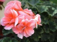 Pembe Sardunya / Pink Geranium  Photo By www.nesedentarifler.com
