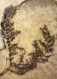 <em>Montsechia vidalii</em> lived alongside the dinosaurs of the Cretaceous period. The researchers say the plant can tell us more about the early development of flowering plants and the role they played in the evolution of animal life.