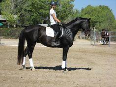Dutch Warmblood horse breed