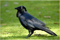 Corbeau d'Australie - Corvus coronoides