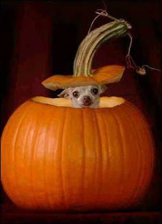 Chihuahua Halloween Costume! :)