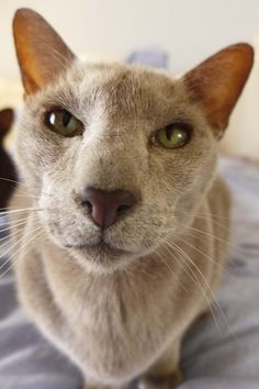 Oriental Cats at www.coolcattreehouse.com***I love pointy faced Oriental Shorthairs!!!!!!!***