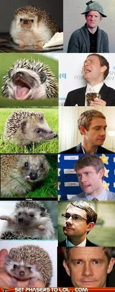hedgehogs that look like martin freeman.  cutest little hedgehobbits in the world.