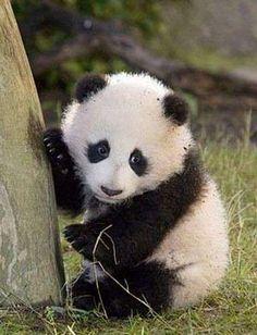 Le foto dei cuccioli di uno degli animali rari più dolce il panda , Panda