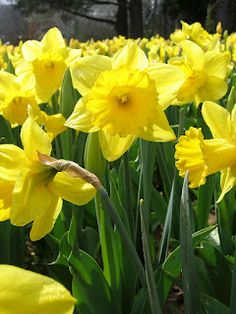 Daffodils come in a variety of colors and little bunnies won't eat them.