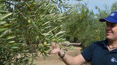 Ελιά: Πως να αυξήσουμε την περιεκτικότητα των καρπών σε λάδι | Yara Ελλάς Plants, Plant, Planets