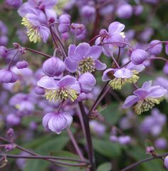 Thalictrum rochebruneanum : One of the strongest growing Thalictrum species making large clumps of glaucous, purple-tinted foliage. Very tall stout upright stems carry a mass of soft-purple flowers filled with yellow stamens. 150cm. high.