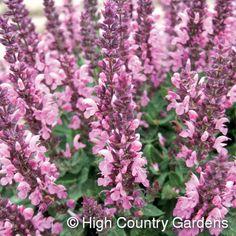 Salvia nemorosa 'Sensation Deep Rose Improved' PPAF  Sensation Rose Dwarf Pink Sage