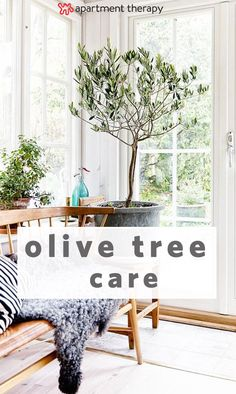 olive trees, with their light, sage-colored foliage, work beautifully in modern interiors. They have a certain sophistication, as if you have just brought a tiny bit of Tuscany into your living room. If you're considering growing one of these beauties, here's everything you need to know about caring and keeping olive trees.