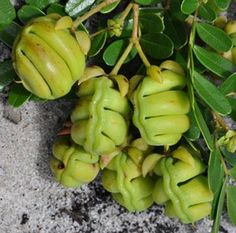 Eligmocarpus cynometroides