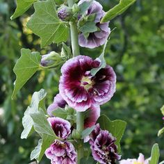 Looking to attract hummingbirds to your yard next year? Check out the Creme de Cassis Alcea. Blooming from early summer. Phlox Plant, Gardening For Beginners, Gardening Tips, Tall Phlox, How To Attract Hummingbirds, Attracting Hummingbirds, Butterfly Bush, Small Space Gardening