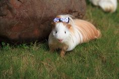 Guinea Pig Silkie Pictures