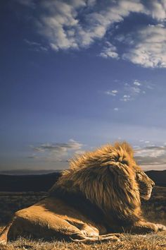 ~~The King and his Kingdom Male Lion surveys the South Africa Savannah by Jackson Carvalho~~ Nature Animals, Animals And Pets, Cute Animals, Wild Animals, Beautiful Cats, Animals Beautiful, Regard Animal, Lion Love, Male Lion