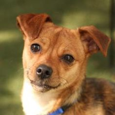 15710_Ariel is an adoptable Chihuahua Dog in Oakland, CA. Hey there. I have to say. This Petfinder thing is pretty cool. My name is Ariel and you've found yourself at my very own profile. I'm so happy...
