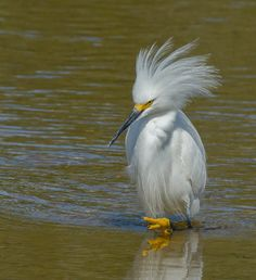Snowy Egret, it's plume means mating season is here.