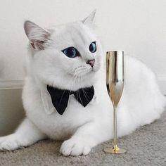 Фото Синеглазый кот по кличке Коби в бабочке лежит на полу рядом стоит позолоченный бокал (© JeremeVoods), добавлено: 28.06.2016 02:18