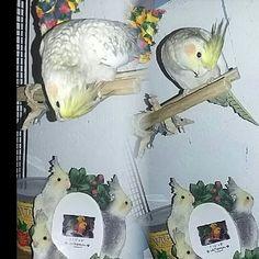 """What the...!!! ...you still think I'm cuter than them right?!"" . . . #PearlCockatiel#cockatiel#bird#birds#birdsofinstagram#parakeet#cockatoo#conure#africangrey#africangray#parrot#parrots#lorikeet#macaw#instabirds by heidi_the_cockatiel http://www.australiaunwrapped.com/"