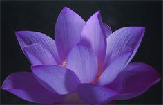 Purple Lotus Petals by Bahman Farzad, via Flickr