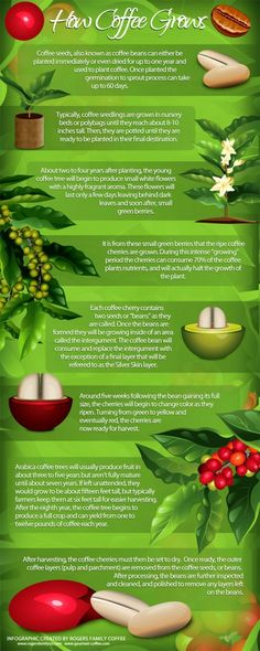 How Coffee Grows Infographic
