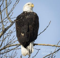 Eagle Watch Wisconsin River  C) Copyright Ricky L.Jones Photography 1995-2016 All rights reserved