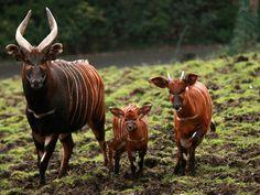 Bongos-a critically endangered antelope species-at Belfast Zoo-est left in the wild Antelope Hunting, Okapi, Rare Species, Baby Images, Zoo Animals, Mammals, Wildlife, Creatures, Belfast