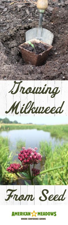Learn how to grow fussy milkweed from seed! We'll walk you through getting your seeds to germinate and transplanting your seedlings at the right time.