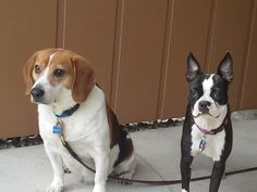 Roxie with her big boy cousin Marty (beagle) 6-2013