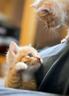 baby ginger kitten - Google Search