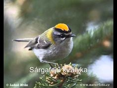 The Flamecrest or Taiwan Firecrest (Regulus goodfellowi) (火冠戴菊鳥 or 台湾戴菊 in Chinese characters), is a species of bird in the kinglet family, Regulidae, that is endemic to the mountains of the island of Taiwan. Any Birds, Kinds Of Birds, Small Birds, Love Birds, Beautiful Birds, Insect Art, Backyard Birds, Bird Species, Bird Feathers