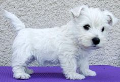 Westies have big dog egos in little bodies. This little guys stance proves they are born with attitude.