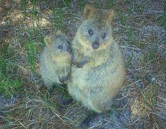 Le Quokka, boule de poils joyeuse : Les animaux les plus mignons de la planète - Linternaute.com Photo numérique