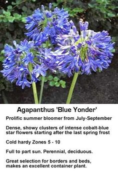 The Agapanthus plant, also known as the Blue Lily-of-the-Nile or African lily plant, displays striking blue flowers on tall and slender stalks. Patio Plants, House Plants, Potted Plants, Part Sun Perennials, African Lily, Sun Loving Plants, Container Plants, Artificial Plants, Flowers