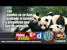 Los pandas ya se han acabado el bambú y preguntan qué hay de segundo.