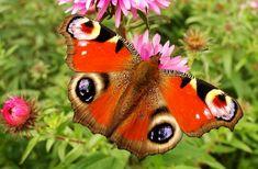 Immagine gratis su Pixabay - Natura, Farfalle Diurne, Estate