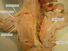 cat muscles | Gluteus Maximus Cat